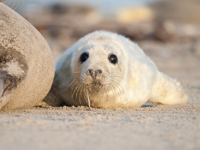 Seal pup Norfolk